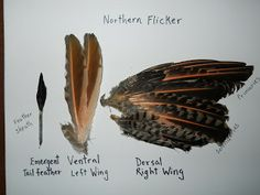Northern Flicker feathers