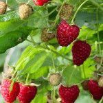 Sadnja maline u novembru daje rezultate - Agro Info Net Raspberry Bush, Bush Plant, Pyrus, Powdery Mildew, Plant Sale, Roots, Strawberry, Plants, Allotment