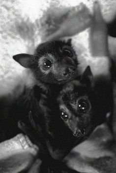 I want a fox bat! Animals And Pets, Baby Animals, Funny Animals, Cute Animals, Cute Creatures, Beautiful Creatures, Animals Beautiful, Hamsters, Baby Bats