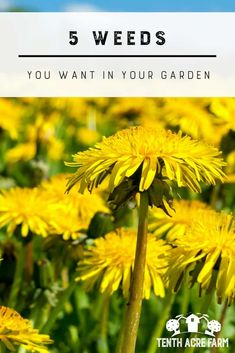 5 Weeds You Want in your Garden: Do you know which garden weeds are beneficial? Increase the productivity of your garden by knowing how to harness the power of these five weeds. #gardening