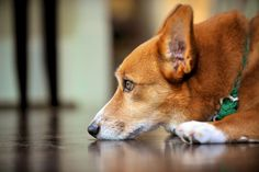 """Corgi - """"No matter how little money and how few possessions you own, having a dog makes you rich."""""""