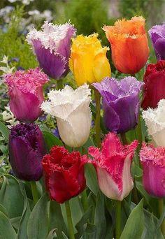 Rainbow Tulips 15589588_352729141767170_9069127941691704798_n.jpg (458×664)