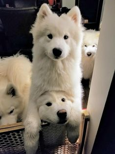 22 Samoyed Saturday Dog Samoyed Photos Who doesnt love cute fluffy dogs and are some of the cutest. Cute Fluffy Dogs, Cute Dogs And Puppies, Baby Dogs, Baby Puppies, Cute Baby Animals, Animals And Pets, Funny Animals, Samoyed Dogs, Pomsky Puppies