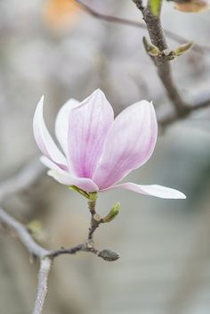 Magnolia's in Toronto this May. Flor Magnolia, Magnolia Colors, Magnolia Trees, Magnolia Flower, Spring Blossom, Blossom Flower, Flower Art, Beautiful Flower Arrangements, Beautiful Flowers
