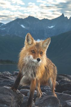 A red fox at the entrance to the Amukuk Arm of Lake Nerka.