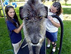 "Irish Wolfhounds are BIG   Wonder what it's thinking?...""I don't like baths!"""