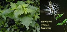 Byliny - Bylinky pro všechny Herbs, Plants, Herb, Plant, Planets, Medicinal Plants