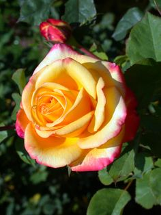 'Dream Come True' | Grandiflora Rose. John D. Pottschmidt, 1996 | Flickr - © Cap001 - Dan