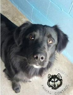 "Meet 62424 ""Sniper"", a Petfinder adoptable Flat-coated Retriever Dog 