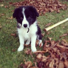 Border collie puppy - adorable!- Looks like martini when she was a puppy!