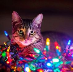 180 best Cats with Christmas Lights... images on Pinterest | Cats ...