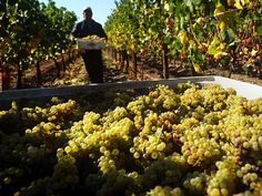 A worker harvesting chardonnay grapes at a vineyard Chile Chilean Wine, Chilean Food, National Geographic, Patagonia, Chilean Recipes, Easter Island, Growing Grapes, Conquistador, Harvest Time