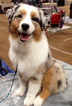Troubadour Australian Shepherds in Birmingham, AL http://hollyloucks.wixsite.com/troubadouraussies/nancy Aussies!