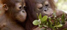 """Ein grüner Ozean aus Farnen, Moosen, Lianen, Orchideen und Urwaldriesen. Pfeilgiftfrösche, Paradiesvögel, stinkende Rafflesien, Faultiere und Nasenbären – und Millionen Insekten-Arten. Die """"grüne Lunge"""" der Erde ist ein Wunder. Erfahren Sie mehr über das artenreichste Ökosystem unseres Planeten, die ausgeklügelten Lebensgemeinschaften zwischen Tieren und Pflanzen und die Gefahren der Abholzung. https://www.regenwald.org/themen/der-regenwald"""