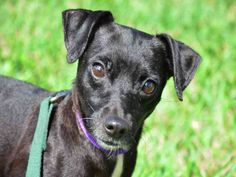 Young Nino is looking for a someone to love.  He wants to learn new things and enjoy all of life's offerings.  The park, beach, around town.  Discover some adventures together with this cute Rat Terrier mix.