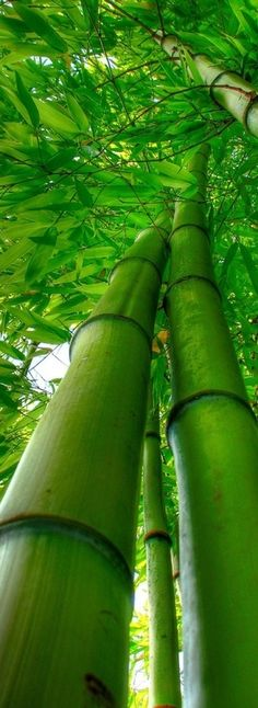 """BAMBOO FACTS: Bamboo is technically a kind of grass, and it grows like grass- sometimes up to 3 or 4 feet in one day. bamboo can be harvested in 3 years' time, while an oak tree may require 120 years to grow to maturity."