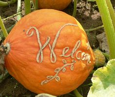 Old Willow Farm pumpkin engraving - as the pumpkins grow, scarring will develop in the engraved areas.