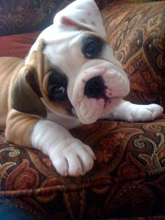 english bulldog on the couch