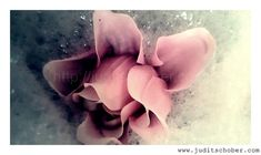 Rose | Judit Schober | Photo & Art Photo Art, My Photos, Photo Galleries, Rose, Gallery, Photography, Pink, Photograph, Roof Rack