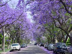 Gorgeous Jacaranda trees in bloom.