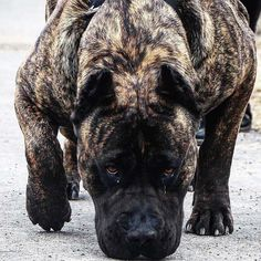 Cane Corso Dog Breed Information Guard Dog Breeds, Big Dog Breeds, Cane Corso Dog Breed, Cane Corso Puppies, Dog Breed Info, Scary Dogs, Dangerous Dogs, Huge Dogs, Pitbull Terrier