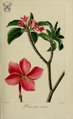 Frangipani, pagoda tree, red jasmine, Plumeria rubra. Herbier général de l'amateur, vol. 8 (1817-1827) [P. Bessa] | by Swallowtail Garden Seeds