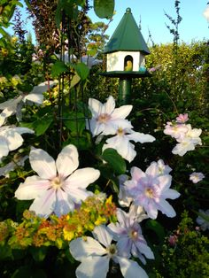 Carnival of Flowers Clematis