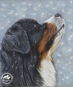 Bernese Mountain Dog Portrait Catching Snowflakes by Pet Portrait Artist Donna #bernese #bernesemountaindog #petportrait #portrait #snow #blue #artist #snowflakes #dogs http://bydonna.co.uk
