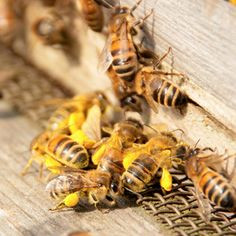 Pollen from flowers can be from white to black in colour. Bees collect it as protein food to feed the baby larvae. They mix it with honey to make what's called bee bread. Primates, Honey Bee Facts, Raising Bees, Bee Farm, I Love Bees, Bee Friendly, Hobby Farms, Busy Bee, Save The Bees