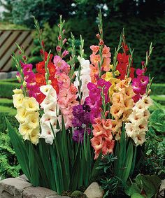 Another great find on #zulily! Rainbow Gladiolus Bulb - Set of 25 #zulilyfinds