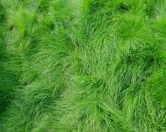 """10LBS Creeping Red Fescue for Shaded areas by Discount Lawn Care. $20.00. Great for seeding under trees.. Great for full or partial shade areas. Drought tolerant. Maximum growing height of 14"""". Very fine bladed. Creeping Red Fescue grass seed is widely planted for turf grass in the transition and Northern cool season areas. Creeping Red Fescue is a fine bladed grass with medium to dark green color. It is easily established from seed and spreads with rhizomes with a..."""