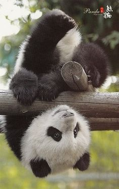 Just hanging upside down. Gotta problem with dat? If not then just look at me with aw not confusion - Fred the Panda ( I just made that all up, is it obvious? )