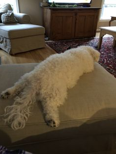 I love when she lays like this. Small Dog Breeds, Small Dogs, Animals And Pets, Cute Animals, Bichon Dog, My Animal, Rescue Dogs, Funny Dogs, Shag Rug