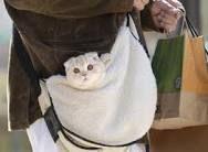 scottish fold kittens - Google Search