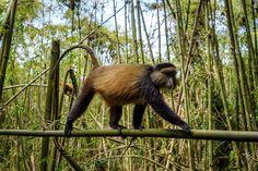 Bisate Lodge - gorilla trekking in Rwanda Volcano National Park, National Parks, Gorilla Trekking, African Safari, Hotel Reviews, Wilderness, Trip Advisor, Experiential, Gallery