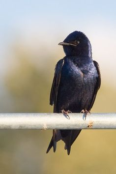 Virginia and the purple martins!