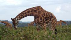 A field of grazing giraffe @ Lake Nakuru