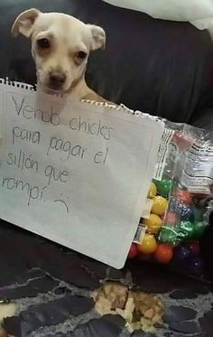 Selling gum to pay for the sofa I destroyed. Funny Animal Memes, Dog Memes, Funny Dogs, Funny Animals, Cute Animals, Funny Memes, Hilarious, Spanish Memes, I Love Dogs