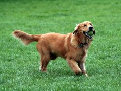 New Hampshire: Golden Retriever