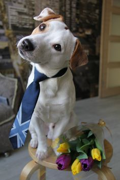 This Jack is ready for his date! All dressed up, wearing a tie, with a bouquet of posies for his sweetie, right next to him. Jack Russell Puppies, Parson Russell Terrier, Jack Russells, Rat Terriers, Scottish Terrier, Funny Animal Pictures, Puppy Love, Best Dogs, Fur Babies