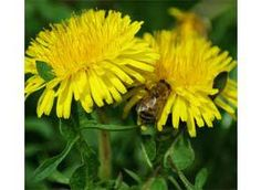 Mountain Rose Herbs: Dandelion Herbaceous perennial. Native to and distributed throughout all temperate zones. Sow seed in flats in the spring, and transplant to rows in the garden. Space plants 1 foot apart, and keep well watered. Dandelion is a gentle liver tonic and diuretic.