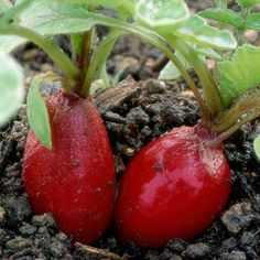 6 Speedy Vegetables: 'Cherry Belle' Radish. 22 days for 3/4- to 1-inch-round red roots | From Rodale's Basic Organic Gardening: A Beginner's Guide to Starting a Healthy Garden