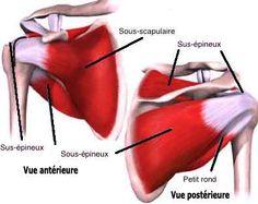 muscles de l'épaule