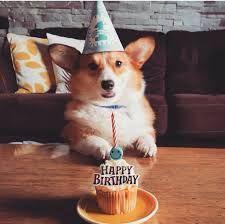 The birthday Corgi Corgi Funny, Cute Corgi, Corgi Dog, Cute Puppies, Mini Corgi, Teacup Puppies, Lab Puppies, Birthday Corgi, Corgi Pictures