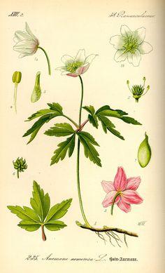 Bosanemoon - Anemone nemorosa
