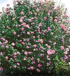 Rose of Sharon - Hibiscus syriacus