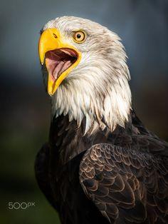 Haliaeetus leucocephalus by Johnny Heinzer / 500px Bald Eagle, Owls, Birds, Animals, Animales, Animaux, Owl, Bird, Animal