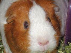Curious Sammy. #guinea pig
