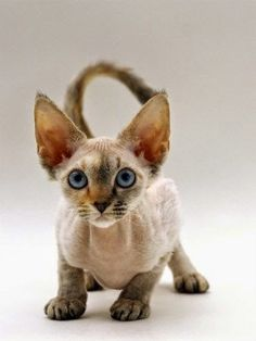The Devon Rex breed of cat has only been around since the 1960′s. They have been genetically proven not to be related to the Cornish or German Rex breeds.