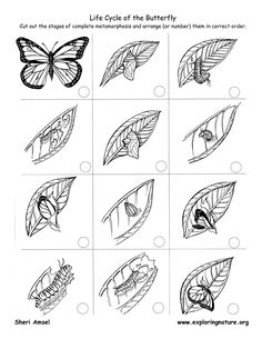 To print: Life Cycle Flip Books -- Exploring Nature Educational Resource Science Biology, Teaching Science, Science For Kids, Science Activities, Life Science, Science And Nature, Sequencing Activities, Flip Book Template, Butterfly Life Cycle